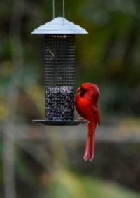 """Cardinal trying to find the """"right""""one!"""