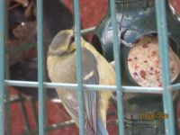 Juvenile Bluetit feeding on the fat balls