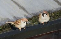 The Tree Sparrows are Back!