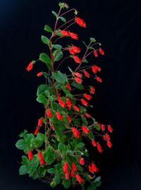 Seemannia nematanthodes, a Hardy Gloxinia