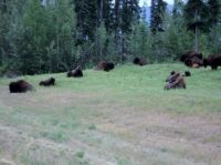 Bison, BC along the Alaska Hwy