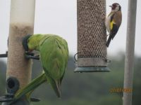 Goldfinch and Rose-Ringed Parakeet share a meal together.