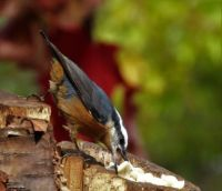 Red-Breasted Nuthatch Taking a Peanut