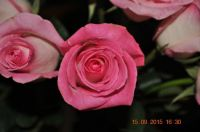 Bubblegum pink roses from hubby, just cuz   [no.2]