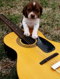 Puppy on guitar