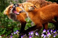 Spring Foxes