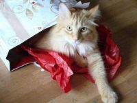 a gift wraped kitty cat