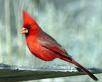 Northern Cardinal in AZ