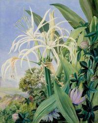 Pancratium caribaeum and a Passion Flower, Jamaica, Marianne North, c.1872