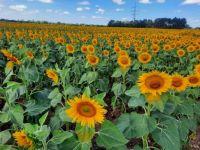 Sonnenblumenfeld 🌻🌻🌻