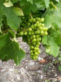 20200618 Belle grappe