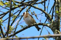 Goldfinch in the park.