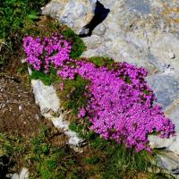 Alpine Flowers 2