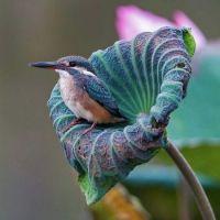 Kingfisher On A Lotus Leaf