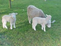 Lambs With Mum
