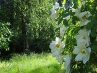 Synnöve's rose