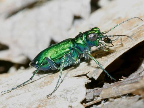 Six-Spotted Tiger Beetle - Illinois.