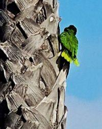 Sunset Cliffs Parrot on Palm