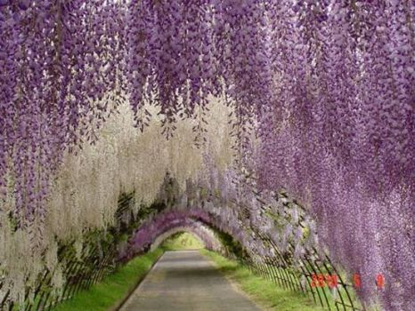 LAVENDER TREE TUNNEL
