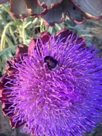 Bumblebee on artichoke flower