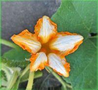 Pumpkin bloom, Květ dýně