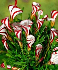 Candy Cane Oxalis