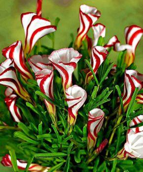 Candy Cane Oxalis
