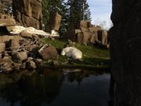 Mountain goats at the Portland Zoo
