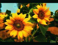 sunflower_by_amateursoul