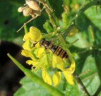 marmalade hoverfly (pyjamazweefvlieg)