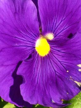 blue-violet up close