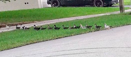 15 Quackers in a line