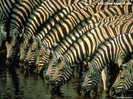 Zíznivé zebry