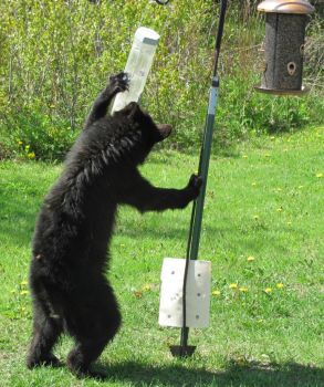 Young bear in our back yard destroying our bird feeder