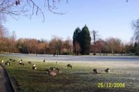Geese on a frosty morning