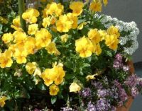 violas and alyssum