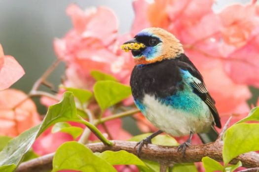 Golden-hooded Tanager George Scott