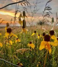Coneflowers at sunset in Nebraska