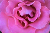 A very close up of my Rose.