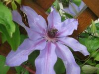 Clematis with friend