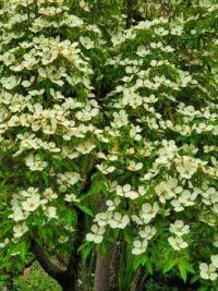 Dogwood in Bloom