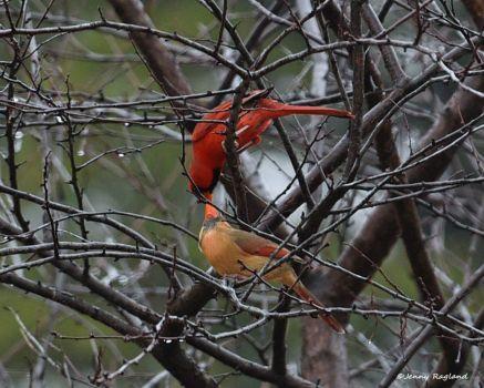 Kissing Cardinals - Jenny Ragland