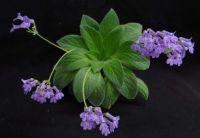 Primulina Purpurea