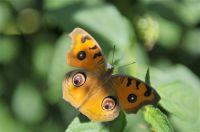 Een vlinder in Dhaka, Bangladesh.