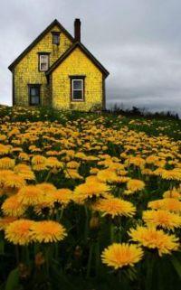 yellow house in yellow field in Nova Scotia