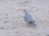 Jan 2013 Eurasian Dove waiting for me to throw a peanut.