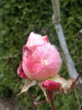 Frozen rose bud