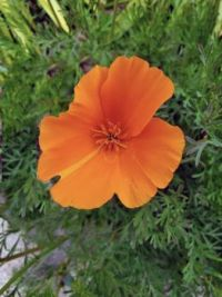 Finding beauty on a special walk: California poppy in my path