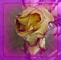 My dried rose . . . . .