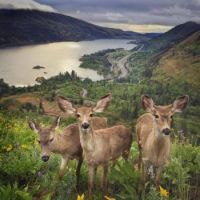 Deer in the Columbia River Gorge